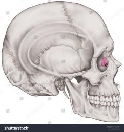 the lacrimal bone of the cranium the bones of the head skull the  [ 1497 x 1600 Pixel ]