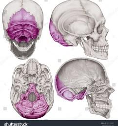 the occipital bone of the cranium the bones of the head skull the [ 1451 x 1600 Pixel ]