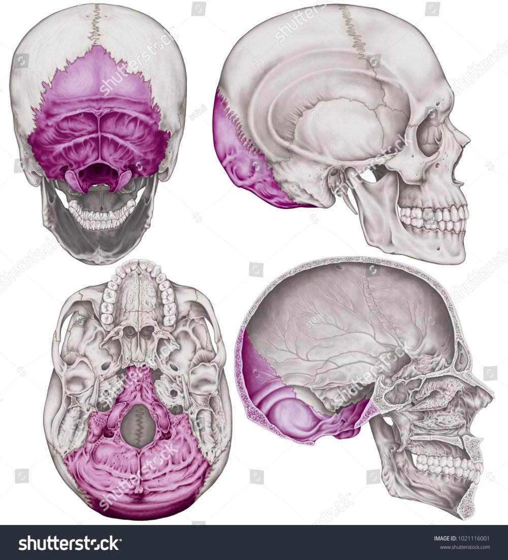 medium resolution of the occipital bone of the cranium the bones of the head skull the