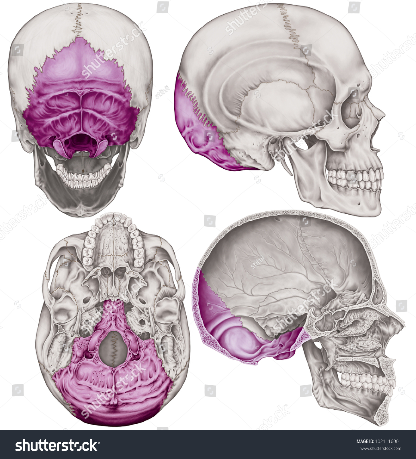 hight resolution of the occipital bone of the cranium the bones of the head skull the