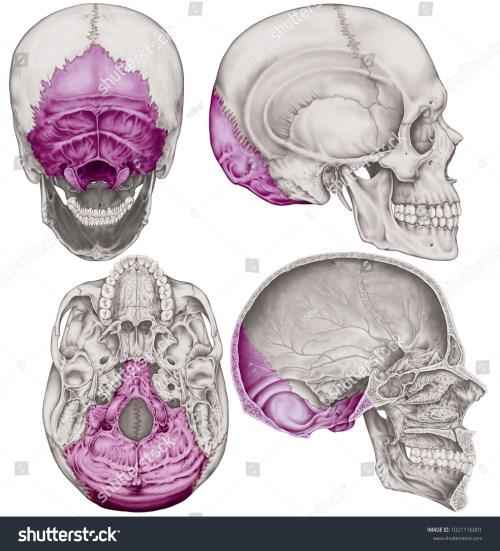 small resolution of the occipital bone of the cranium the bones of the head skull the
