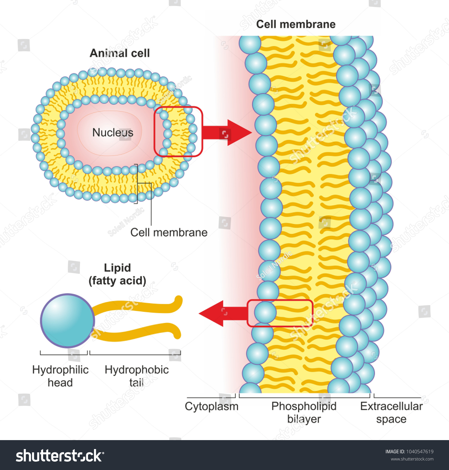 hight resolution of the phospholipid bilayer of an animal cell is a thin membrane made of two layers of