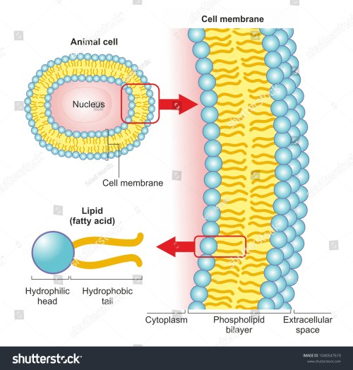 small resolution of the phospholipid bilayer of an animal cell is a thin membrane made of two layers of