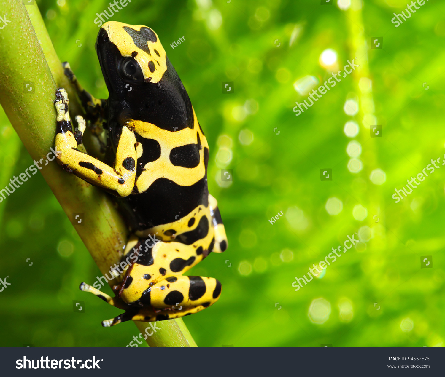 The Poison Dart Frog Dendrobates Leucomelas In A