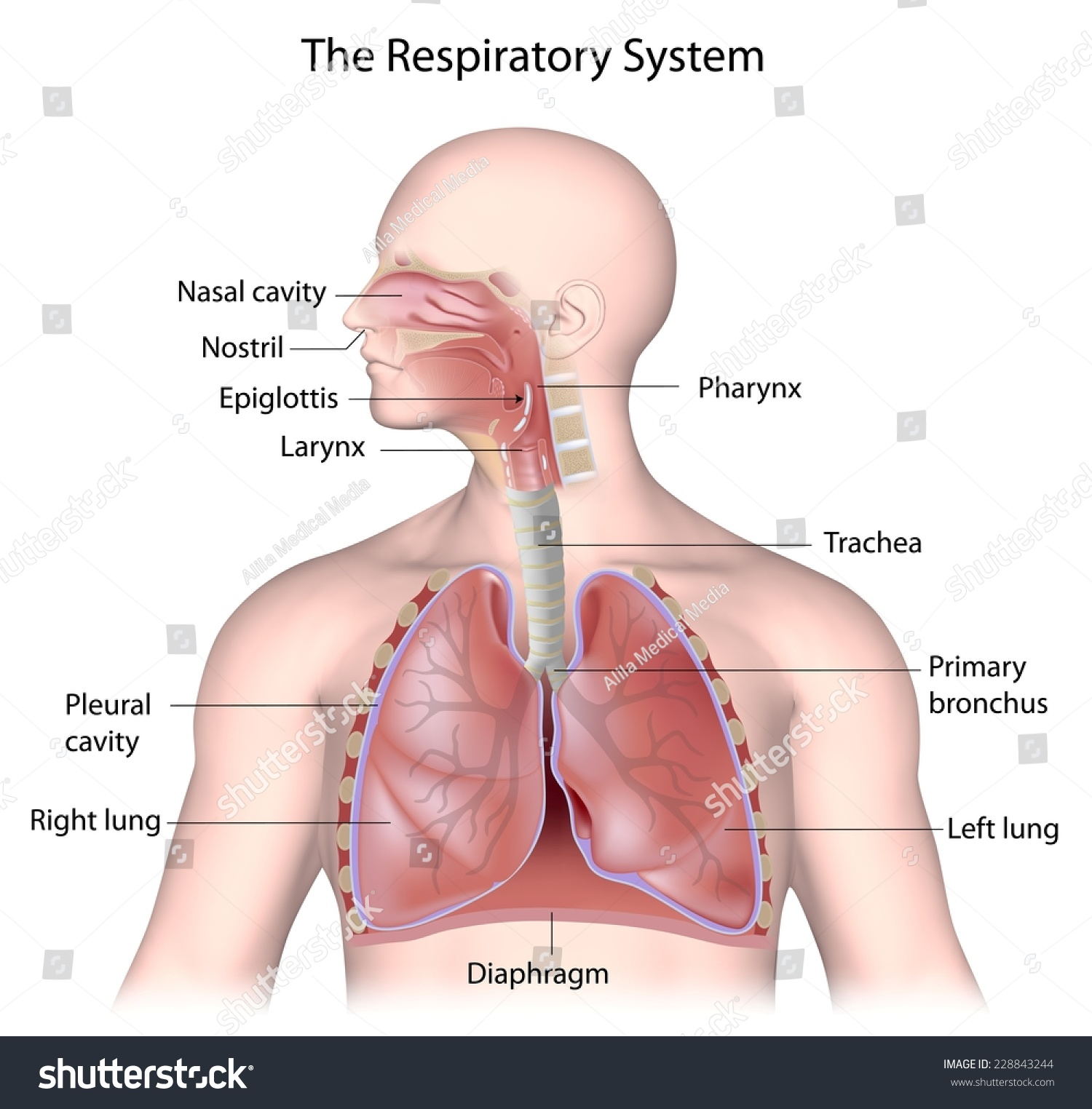 label the following diagram of respiratory system nissan pulsar wiring n15 labeled stock illustration 228843244