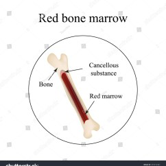 Bone Marrow Cell Diagram Wb Holden Wiring Structure Infographics Illustration Stock