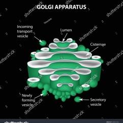 Golgi Apparatus Structure Diagram Tridonic Emergency Ballast Wiring Infographics Illustration Stock