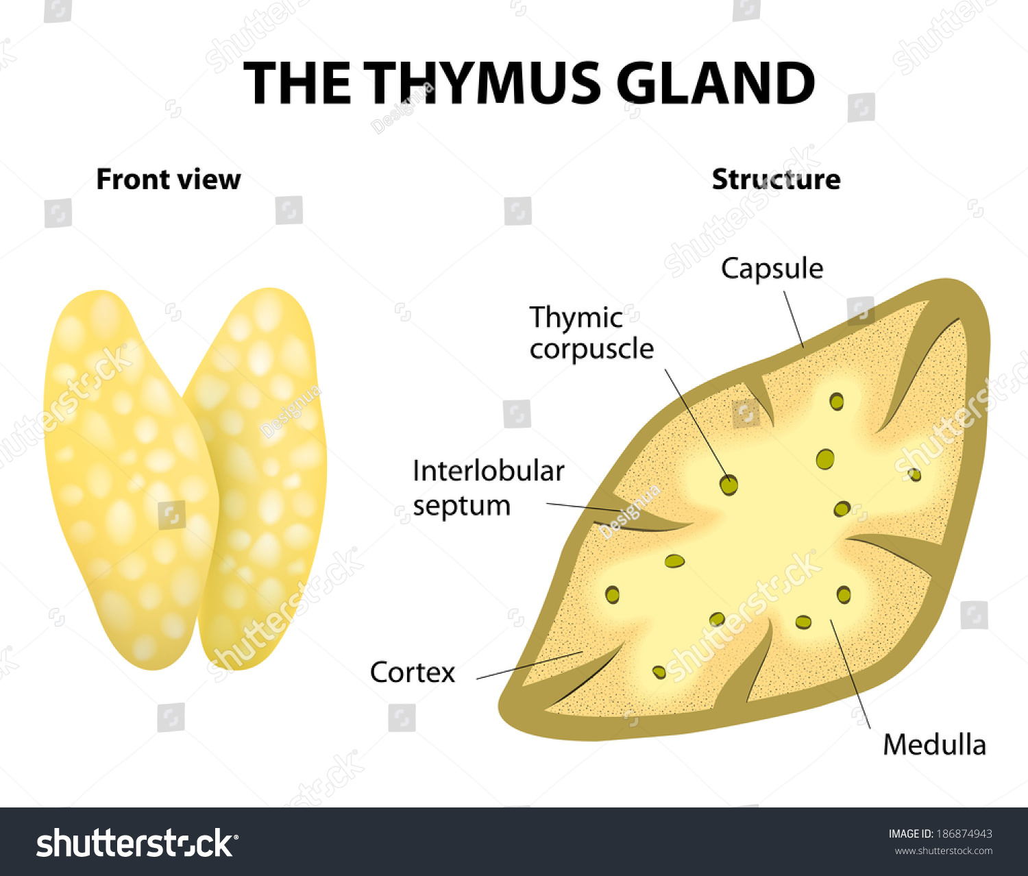 hight resolution of thymu gland function diagram