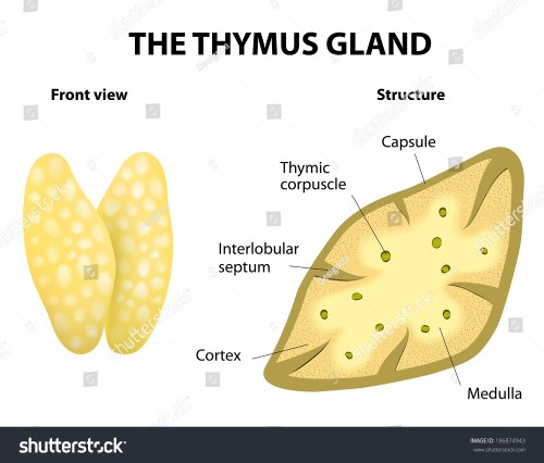 small resolution of thymu gland function diagram