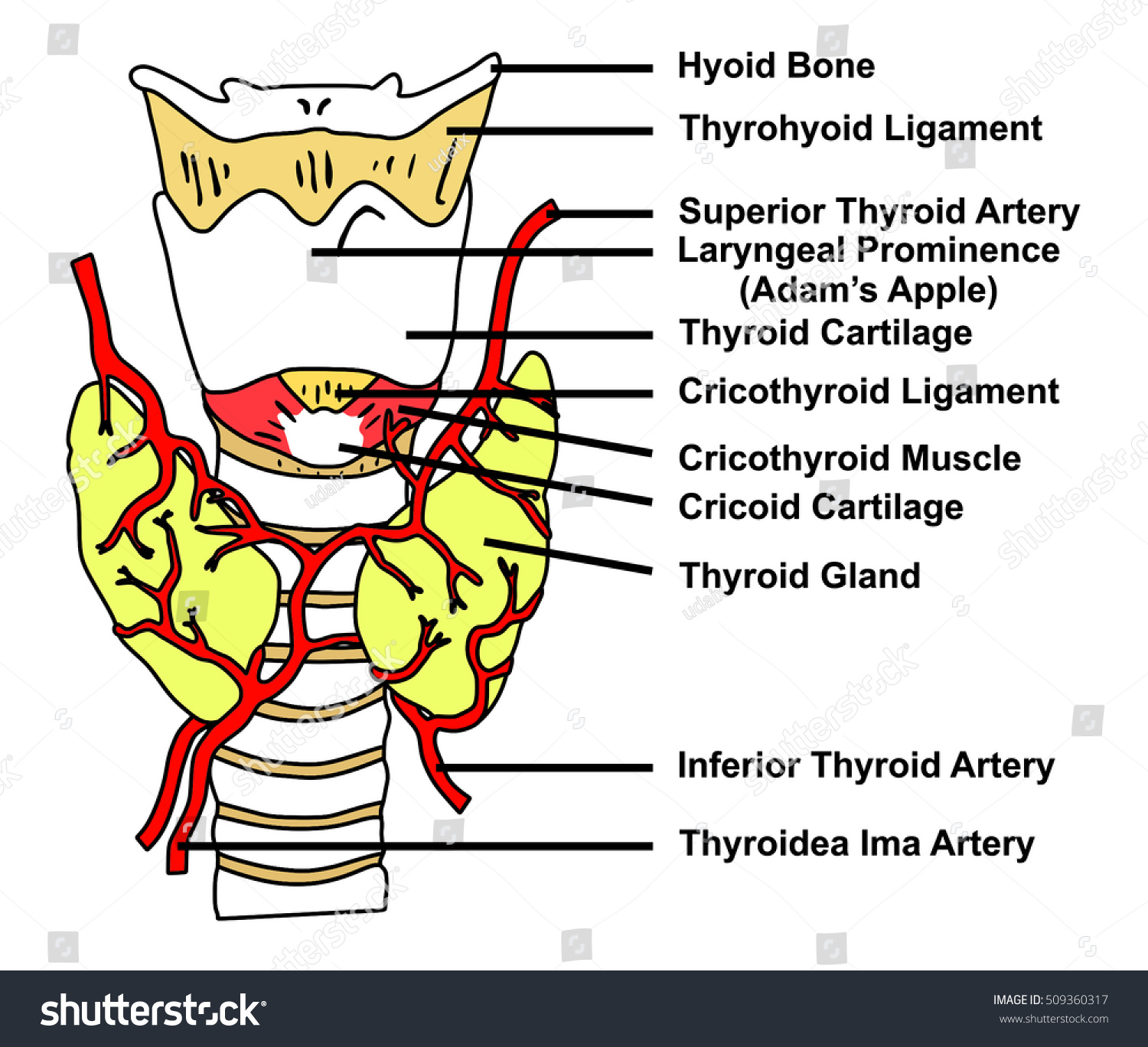 hight resolution of thyroid gland anatomical structure arteries supply diagram of all parts hyoid bone