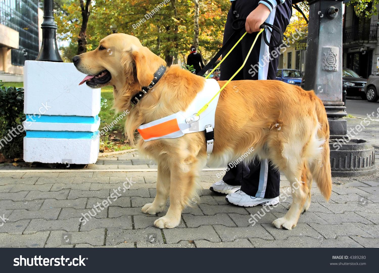 Trained Seeing Eye Dog Stock Photo