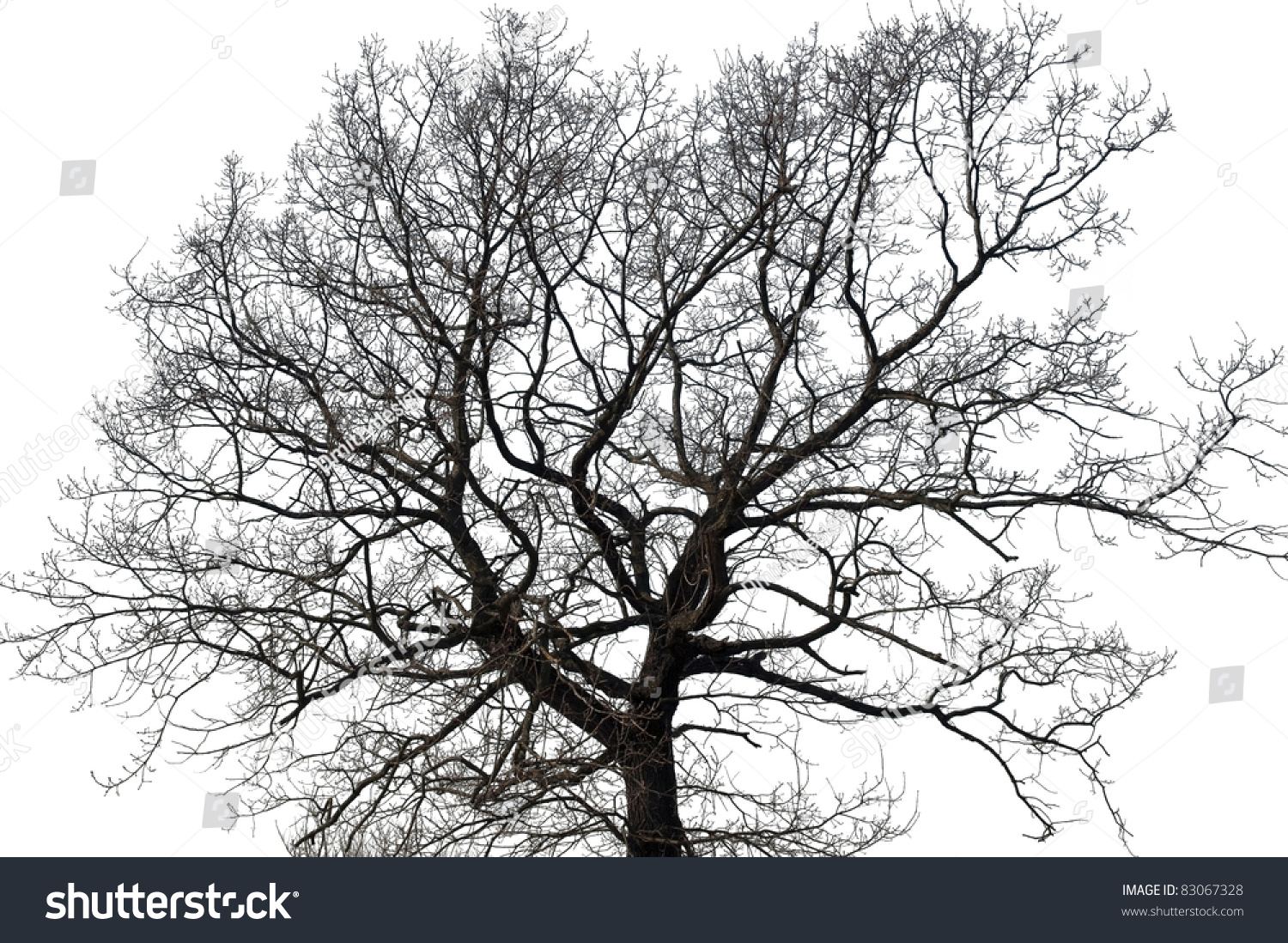 Tree Without Leaves Isolated Over White Stock Photo