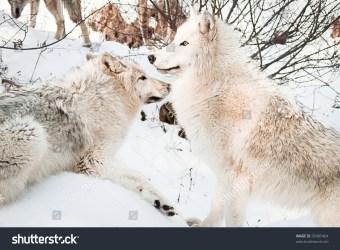 arctic snow posing female wolves shutterstock