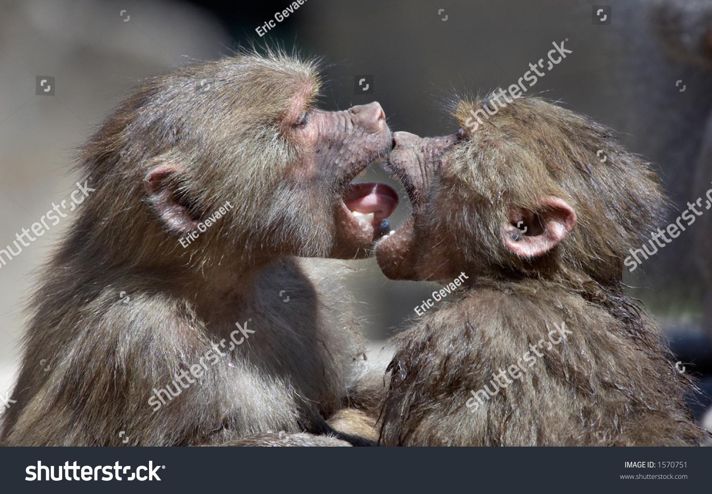 Cute Hd Wallpaper Com Two Monkeys Kissing Stock Photo 1570751 Shutterstock