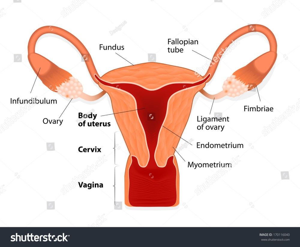 medium resolution of uterus or womb female reproductive system uterus and uterine tubes human anatomy