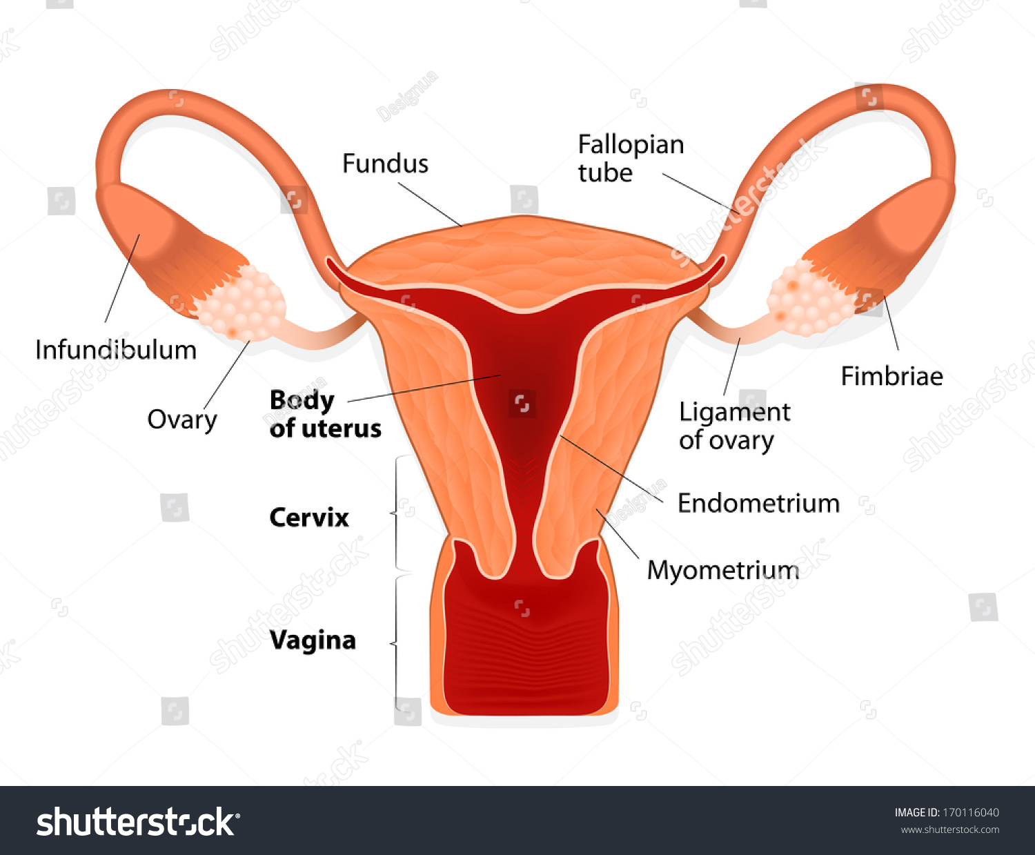 hight resolution of uterus or womb female reproductive system uterus and uterine tubes human anatomy