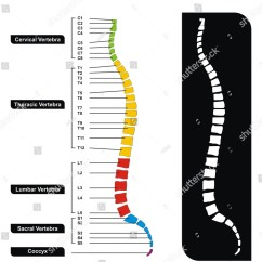 Cervical Vertebrae Diagram Badland Wireless Winch Wiring Vertebral Column Groups