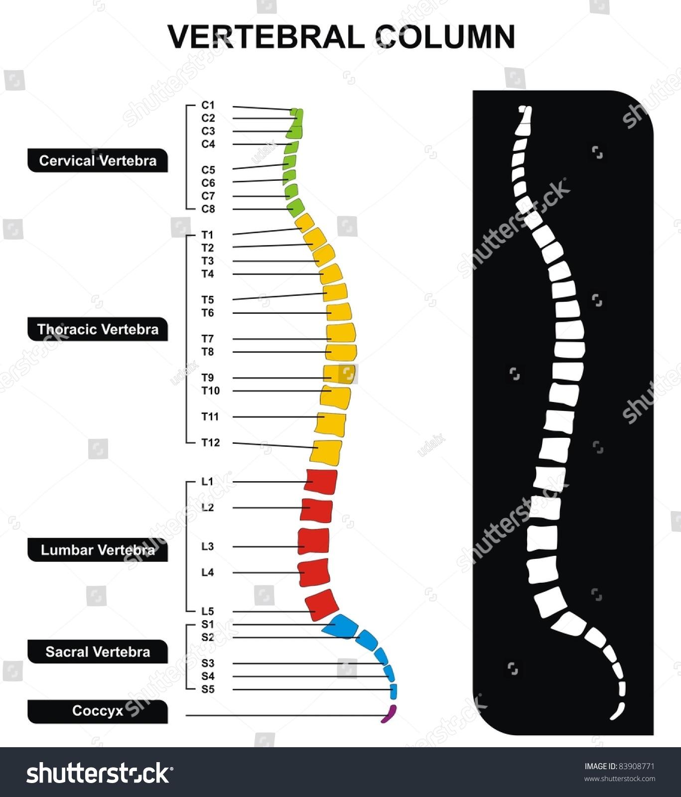 human spine diagram bones vertebrae peavey t 60 wiring vertebral column including vertebra groups