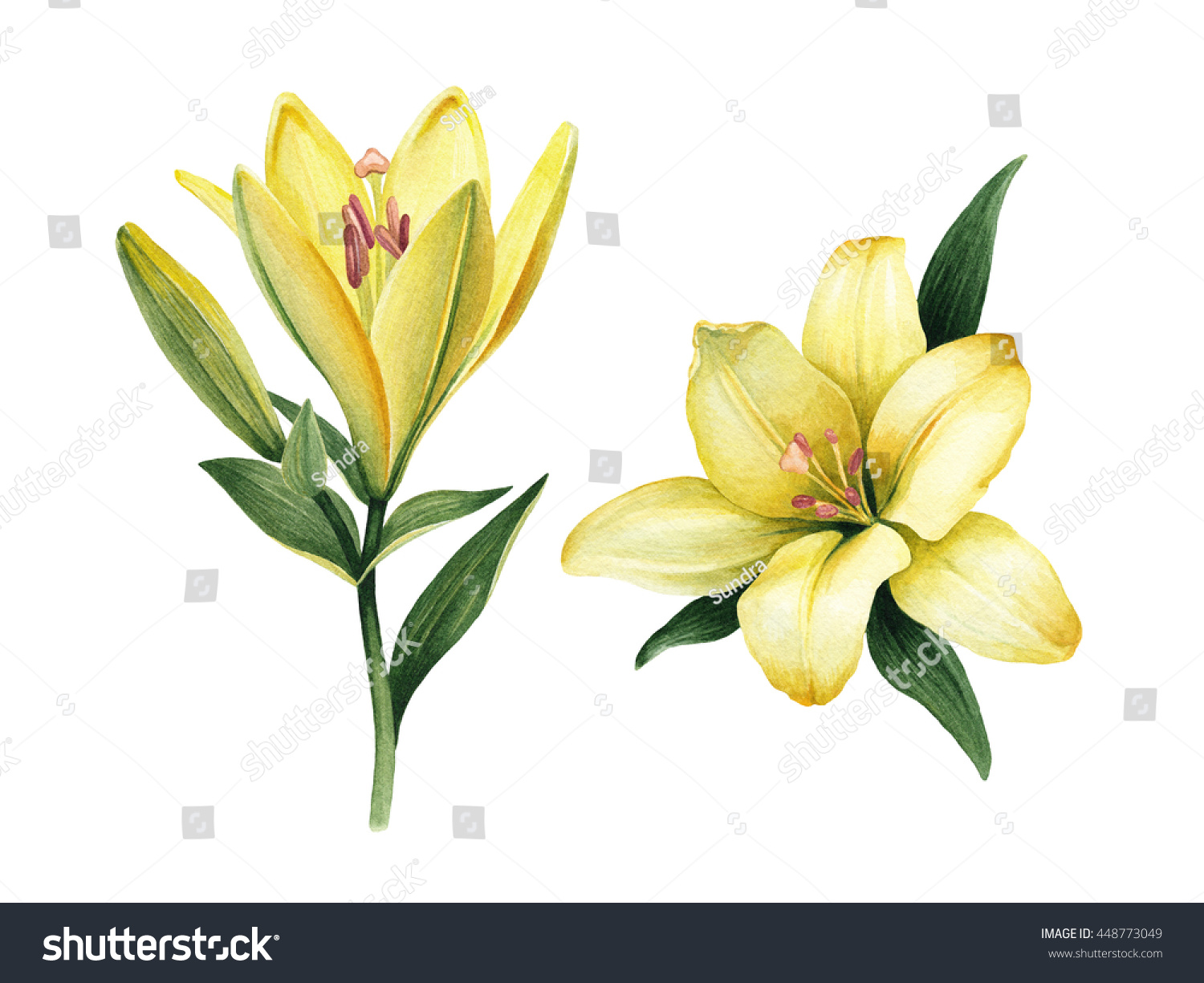 diagram of perfect flower lily 2000 pontiac grand am stereo wiring watercolor illustrations flowers greeting