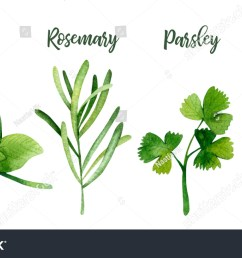 watercolor kitchen herbs basil rosemary parsley thyme [ 1500 x 904 Pixel ]