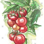 Watercolor Painting Tomato Plant Bunch Red Stock Illustration 243206266