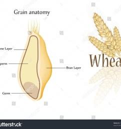 royalty free stock illustration of wheat grain anatomy cross section anatomy of a wheat kernel wheat anatomy diagram [ 1500 x 1354 Pixel ]