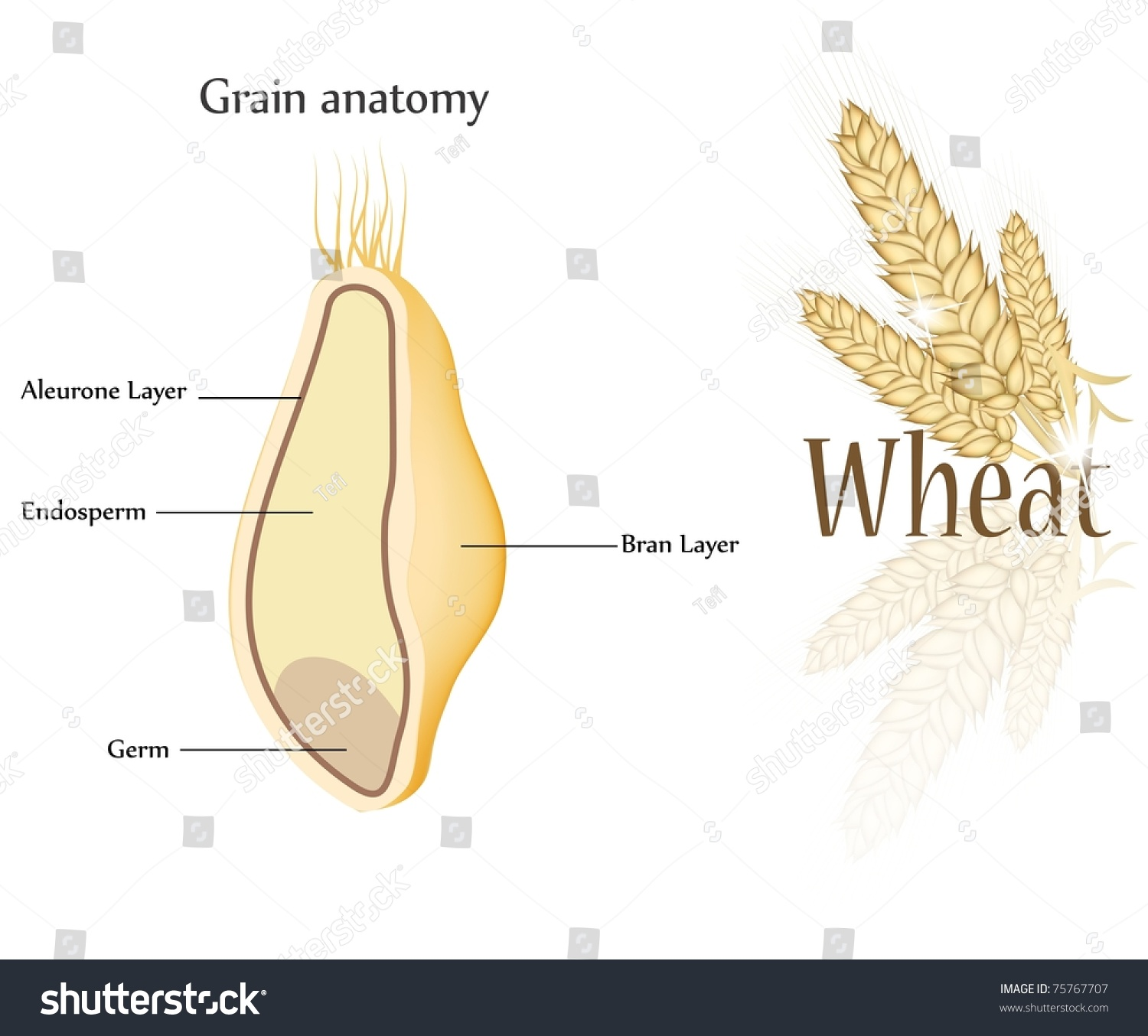 hight resolution of royalty free stock illustration of wheat grain anatomy cross section anatomy of a wheat kernel wheat anatomy diagram