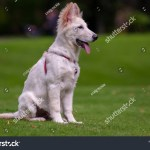 White German Shepherd Puppy Outdoors Field Stock Photo Edit Now 1383246719