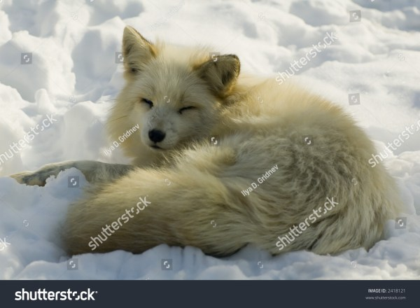 White Japanese Fox In Winter Stock 2418121