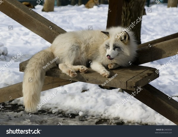 White Japanese Fox In Winter Stock 2465034