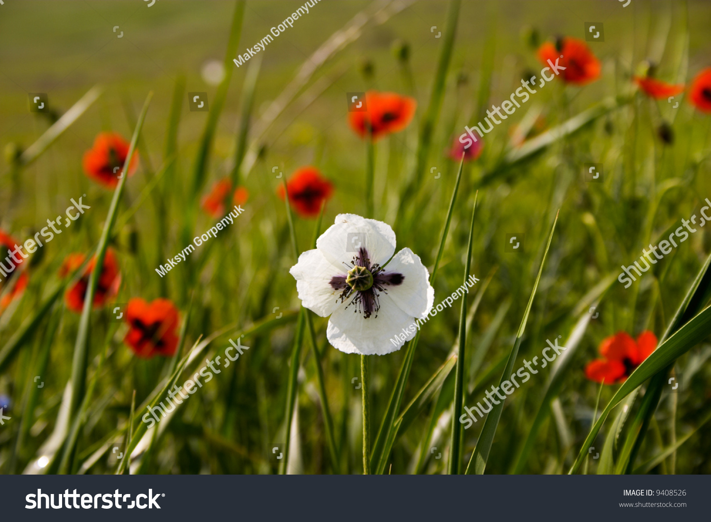 Opium Poppy Capsule To Flowers