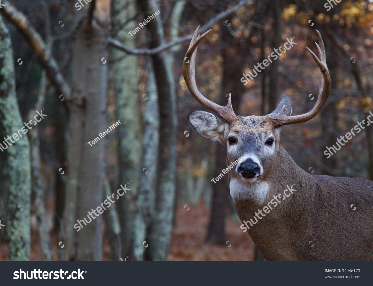 Whitetail Buck Deer, Portrait With Woodland Background Stock Photo 94046179 : Shutterstock