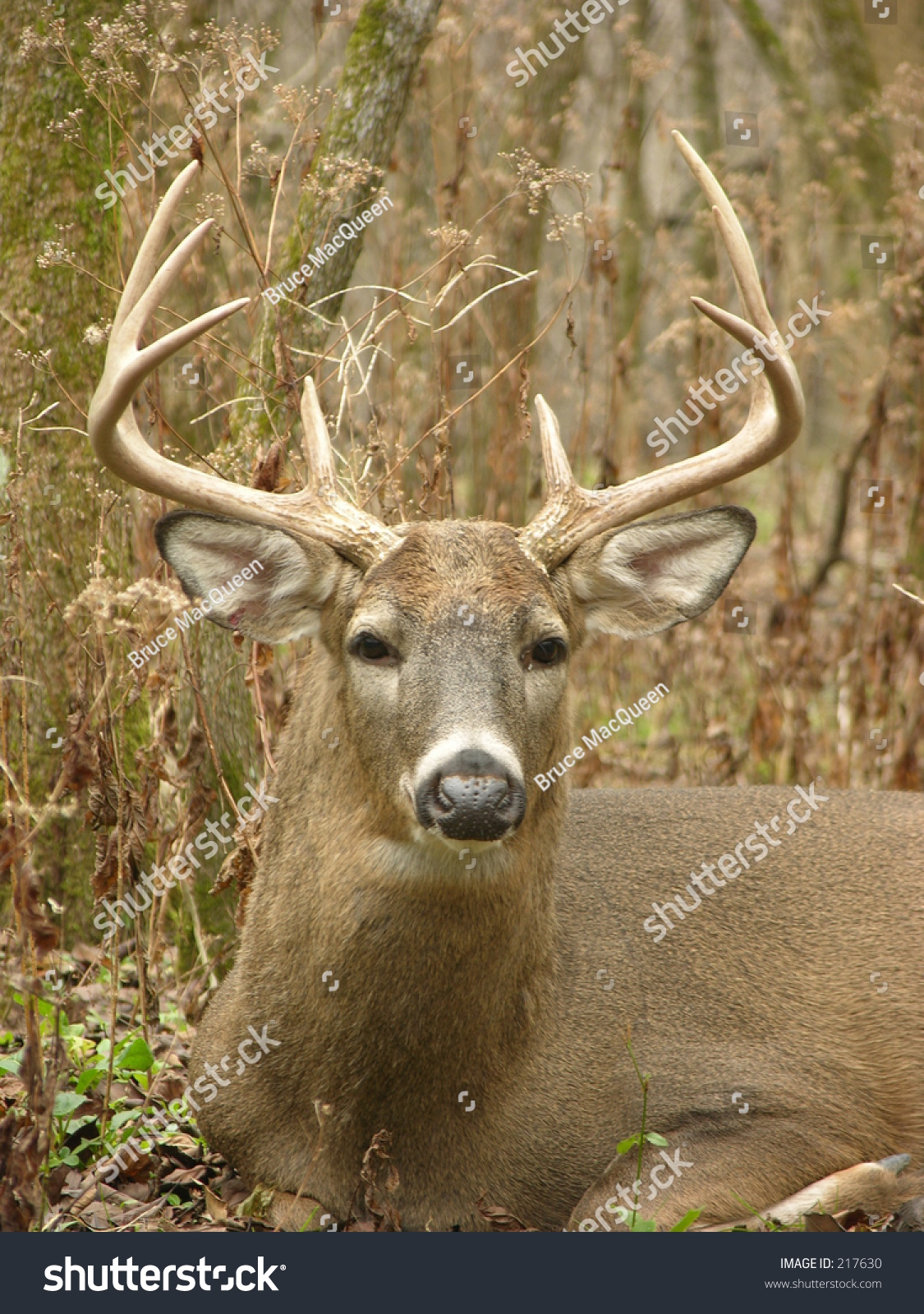 Whitetail Deer Buck Bedded In A Thicket During The Rut. Stock Photo 217630 : Shutterstock