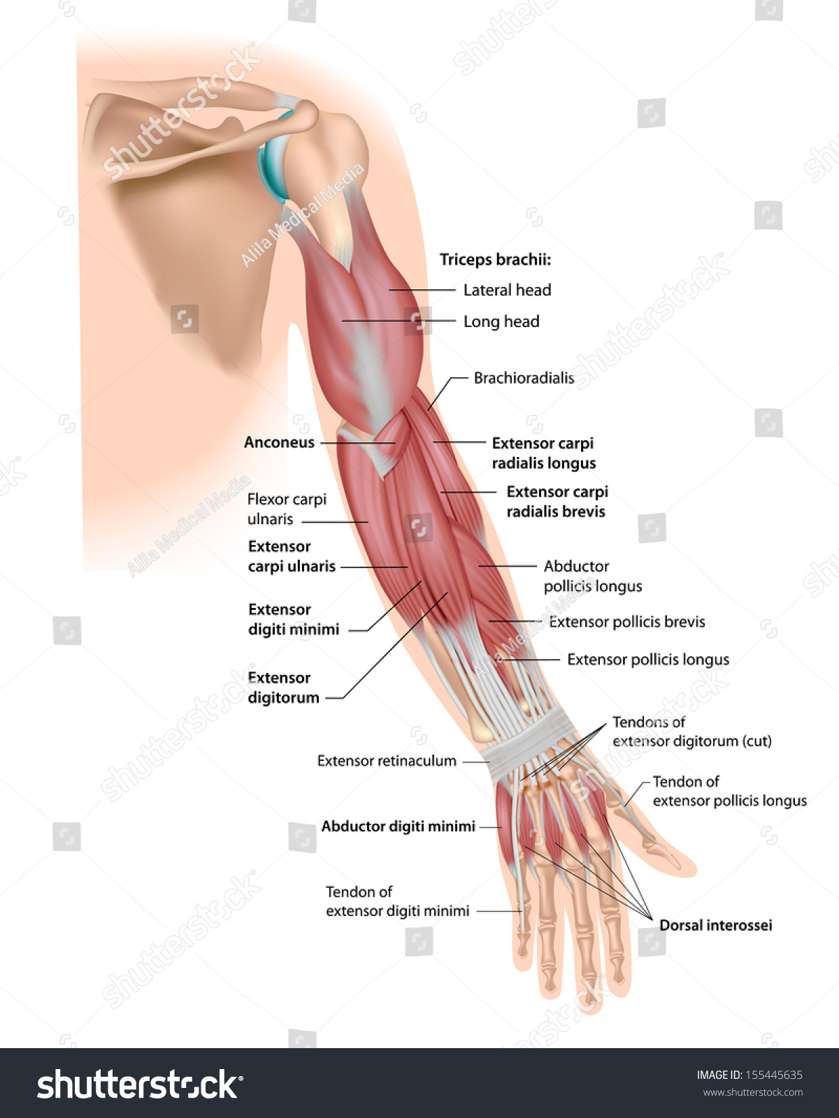 Whole Arm Muscles Posterior Labeled Stock Illustration