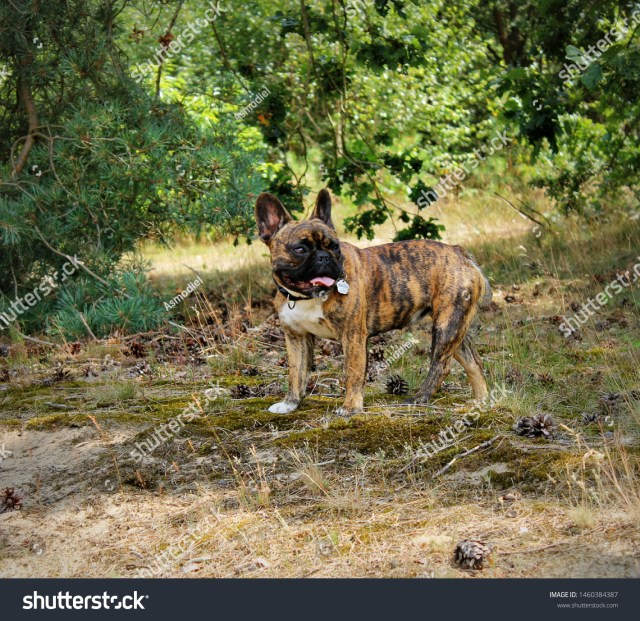 young french bulldog tiger brindle coloring stock photo
