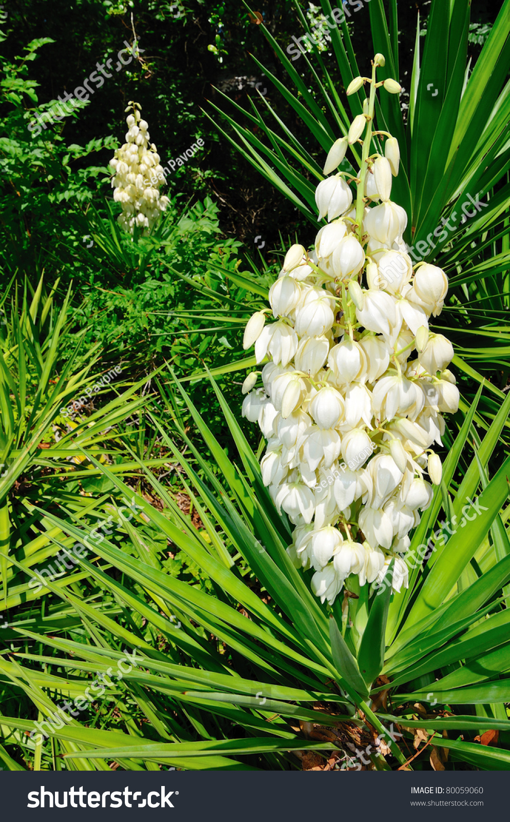 Yucca Bushes In Bloom Stock Photo 80059060 : Shutterstock