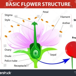 Parts Of A Flower Simple Diagram 5 Way Light Switch Wiring Anatomy Cherry Fruit Vector Stock