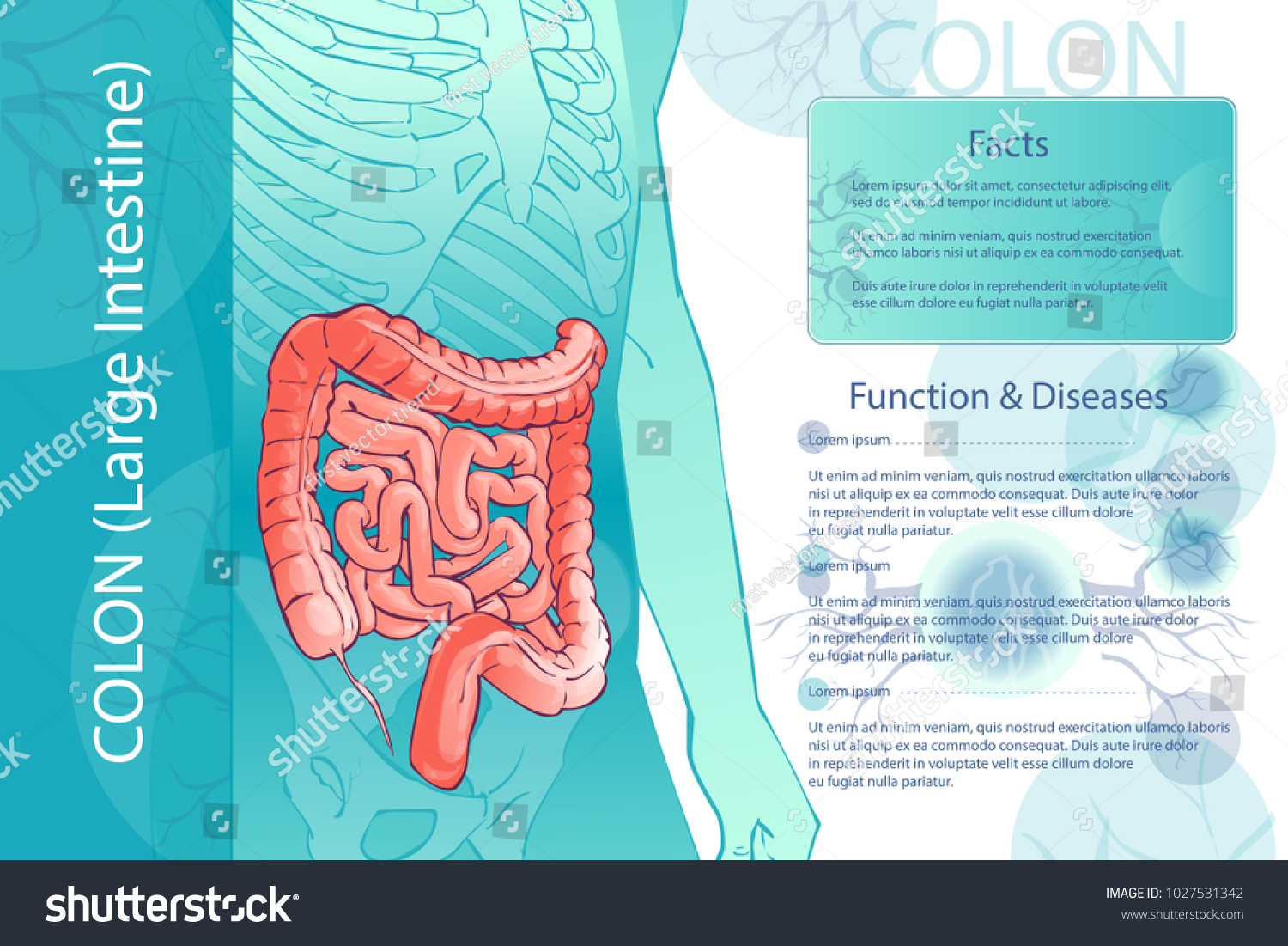 hight resolution of 3d diagram illustration of the human colon internal organs digestive system template anatomical