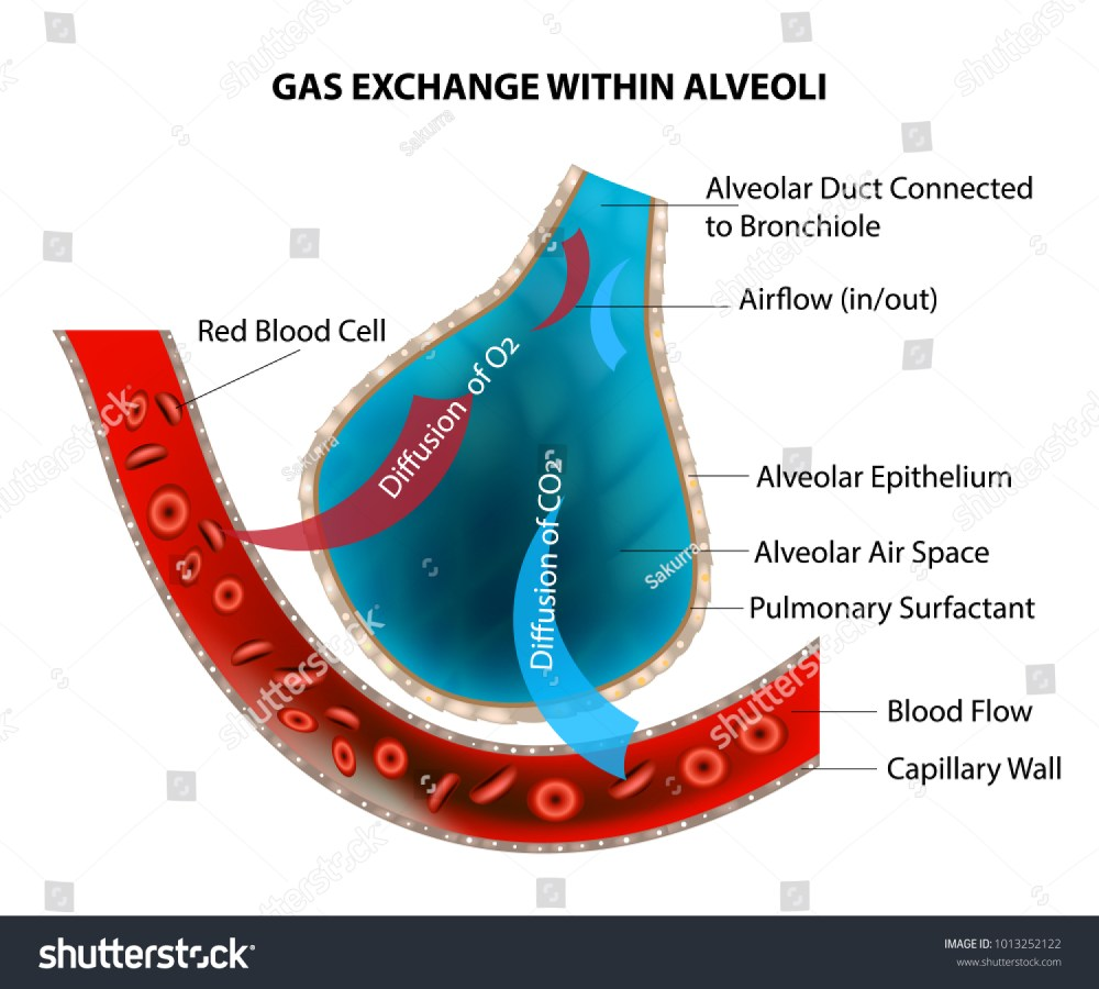 medium resolution of gas exchange within alveoli stock vector royalty free 1013252122 shutterstock