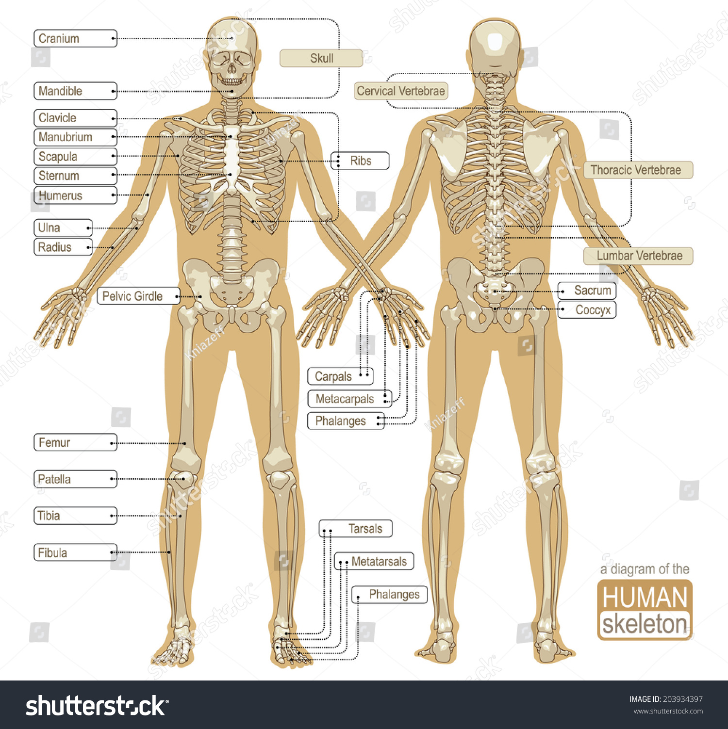 hight resolution of a diagram of the human skeleton main parts of the skeletal system vector illustration