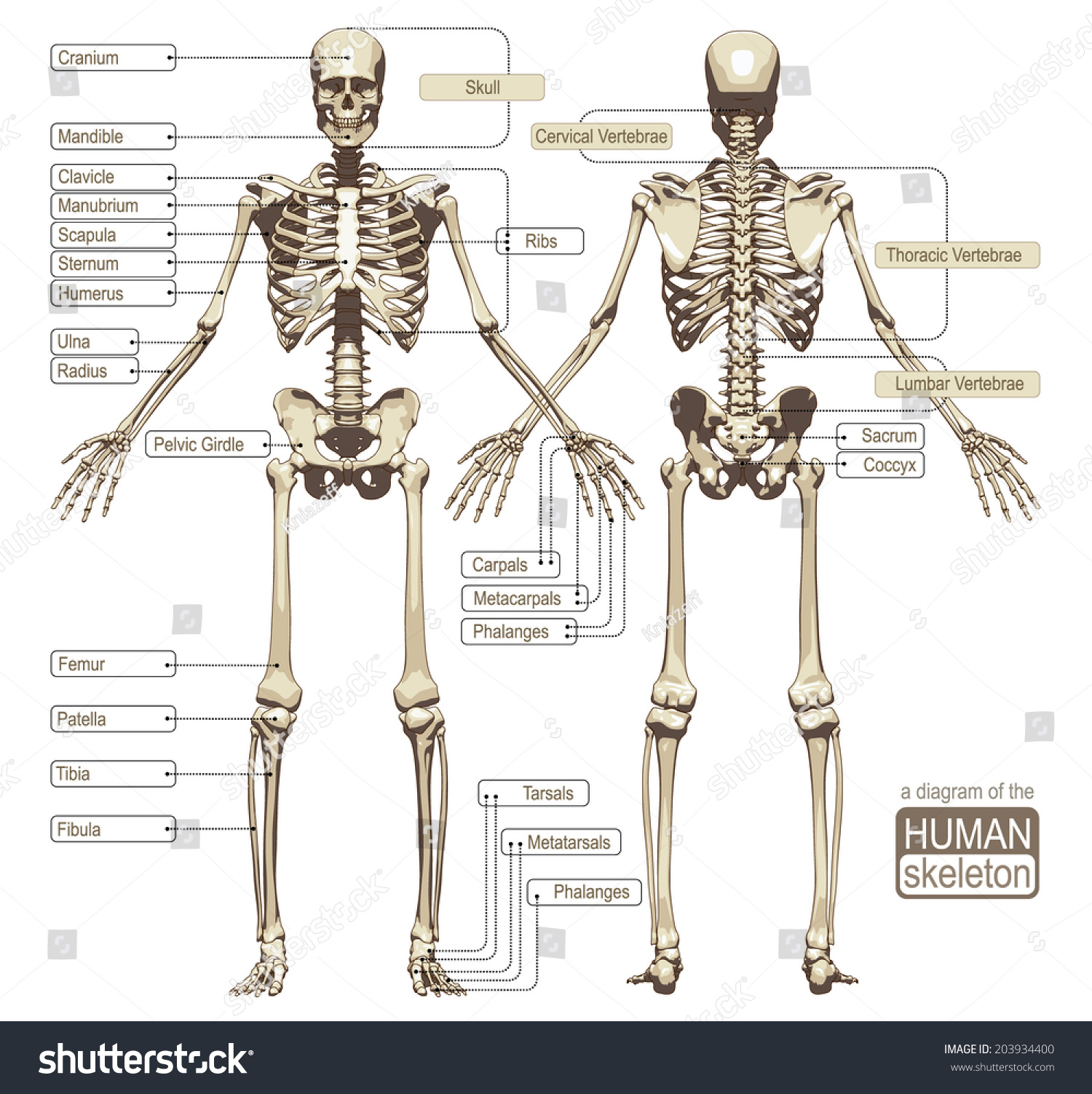 skeletal system anterior view diagram beef cuts parts of a cow human skeleton main stock vector