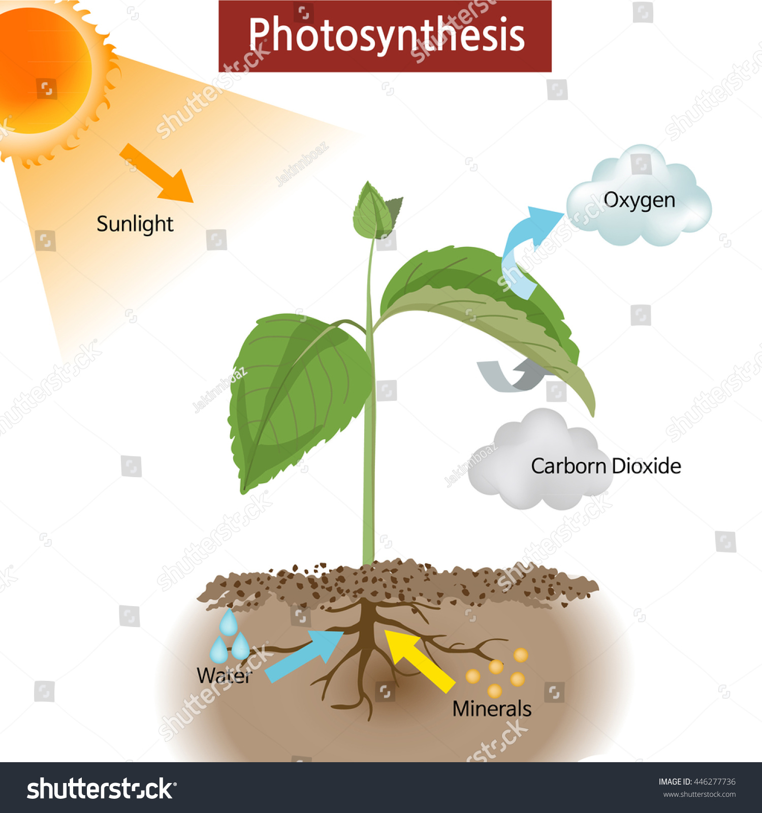 draw a diagram of photosynthesis labeled heart valves showing how works on stock vector