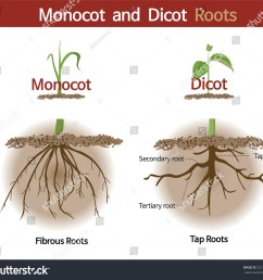 a picture comparing monocot and dicot roots  [ 1500 x 1375 Pixel ]