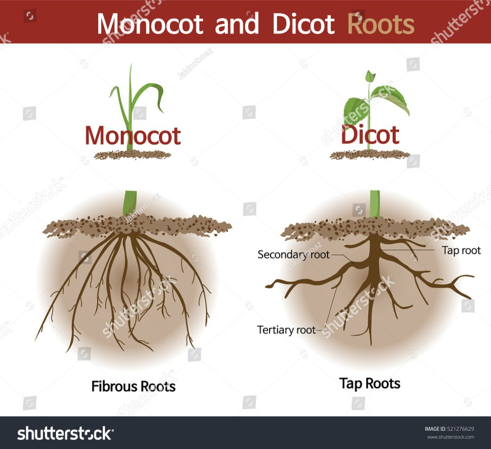 medium resolution of a picture comparing monocot and dicot roots
