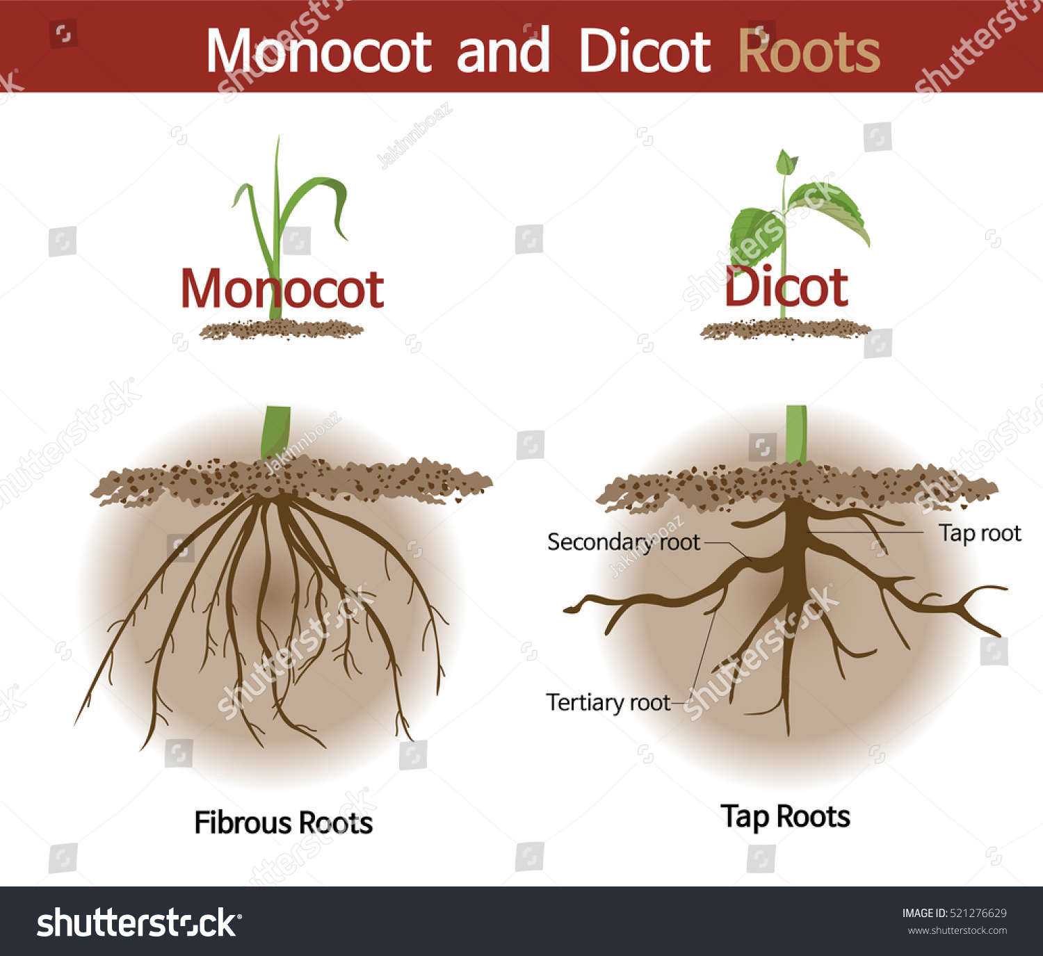 hight resolution of a picture comparing monocot and dicot roots