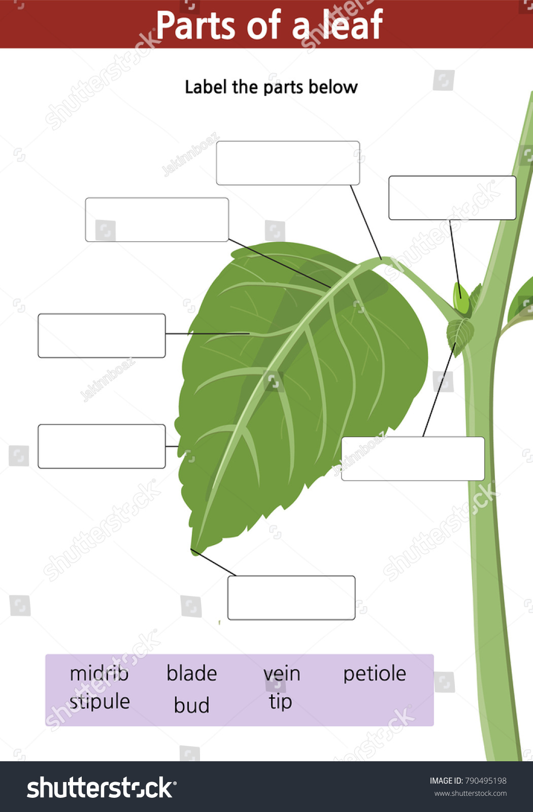 Worksheets Parts Of A Leaf Worksheet Cheatslist Free Worksheets For Kids Amp Printable