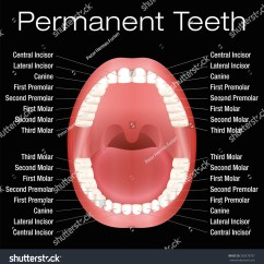 Adult Tooth Diagram Hei Distributor Wiring Ford Teeth Names Vector Illustration On Stock