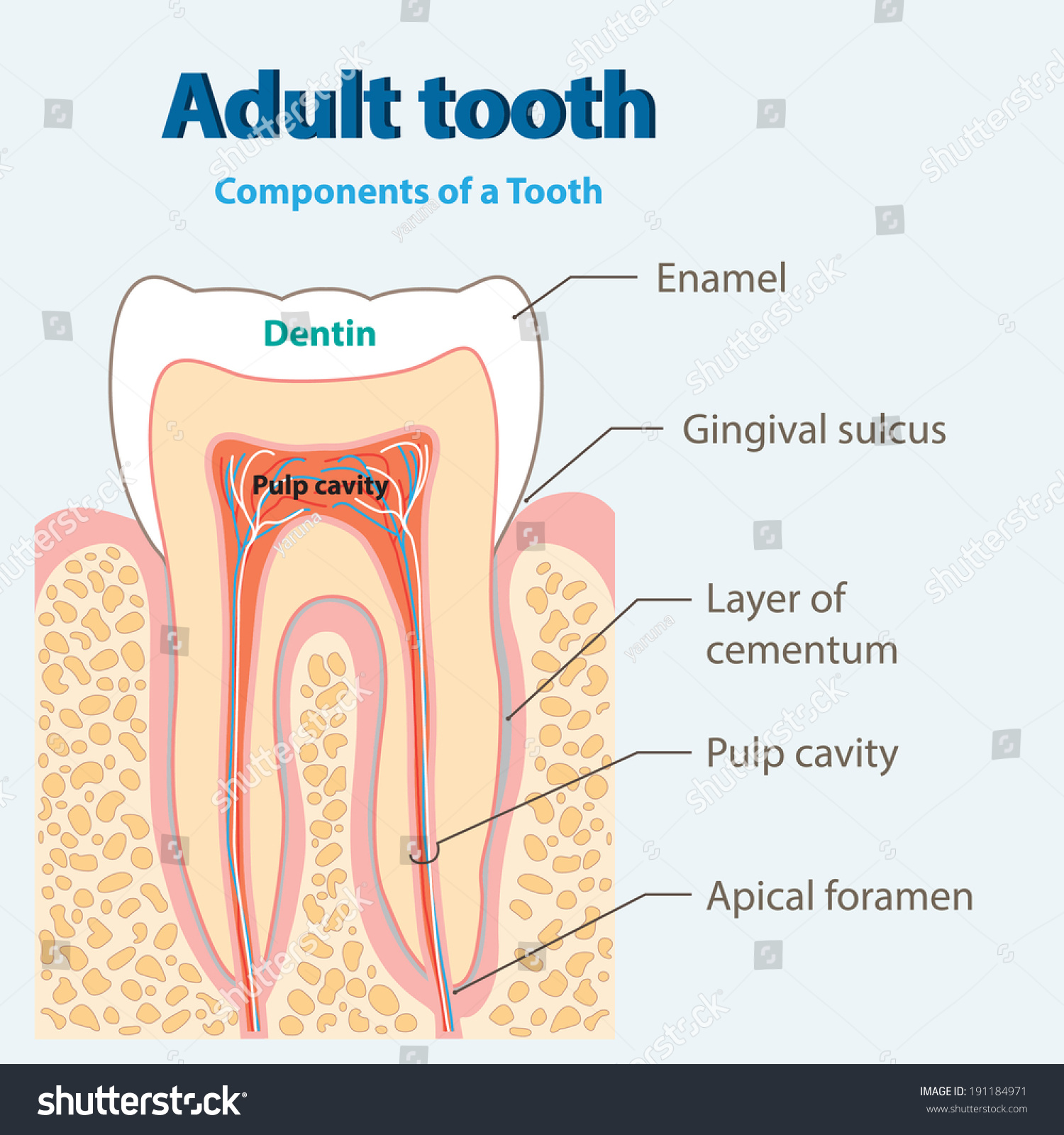 hight resolution of adult tooth