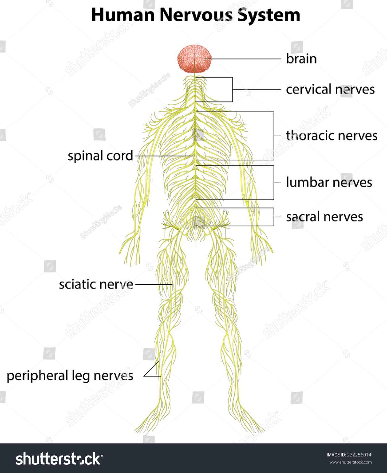 central nervous system labeled diagram sub wiring configuration image showing human stock vector 232256014
