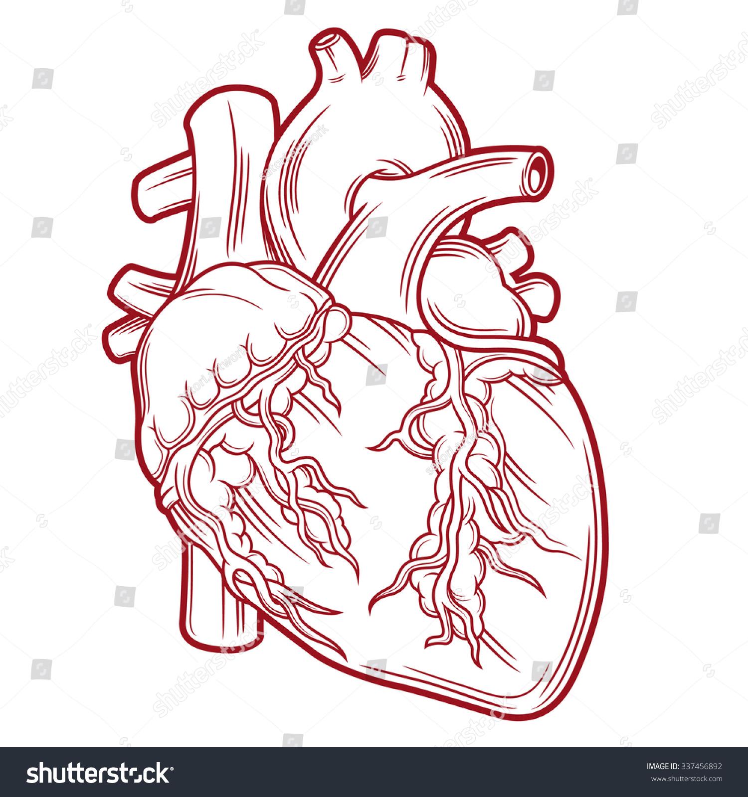 Anatomical Heart Stock Vector